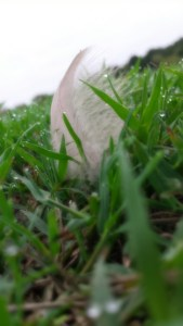 feather in dewy grass
