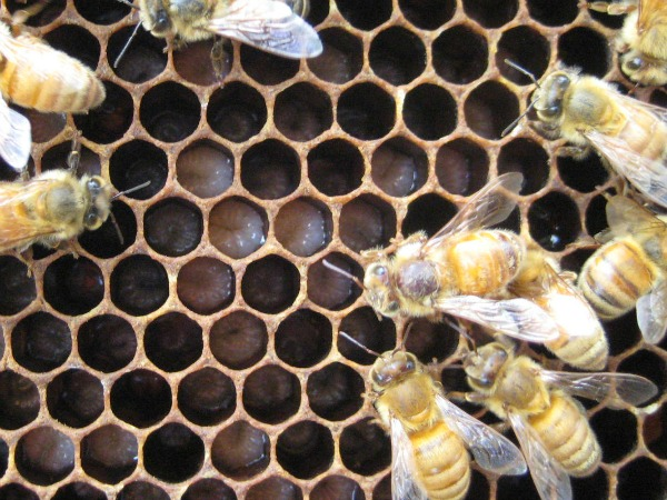 honeybees, larvae, Iowa, Julia