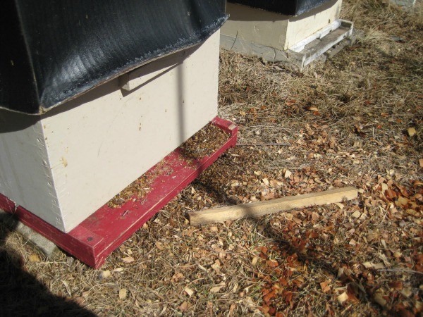 honey bees hive entrance reducer on ground