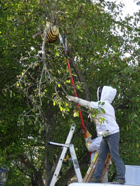 juliecache pulls down a branch with honey bees