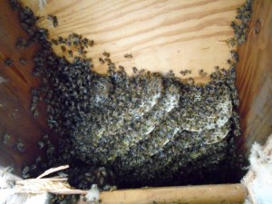 honey bee colony between studs