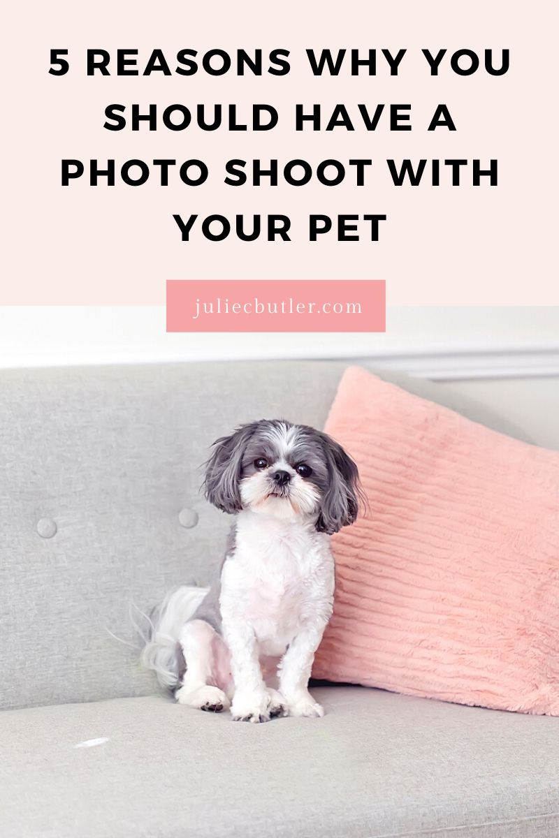 cute black and white shihtzu on grey sofa beside pink pillow