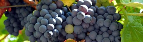 Douro Valley Grape Harvest. Photography by Julie Dawn Fox