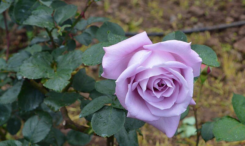 Lilac rose, Arcos de São Jorge, Madeira