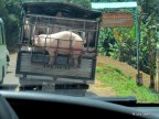 Pig in a cage on a truck