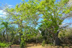 baobab trees2