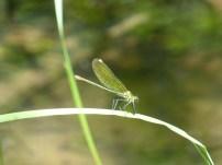 Banded Demoiselle/Gebänderte Prachtlibelle (Calopteryx splendens)