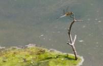 Black-tailed Skimmer/Grosser Blaupfeil (Orthetrum cancellatum)