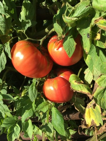 German Pink heirlooms
