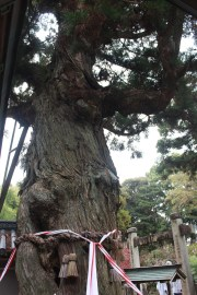A Japanese cedar at the Gokurakuji believed to have been planted by Odaishi san himself.