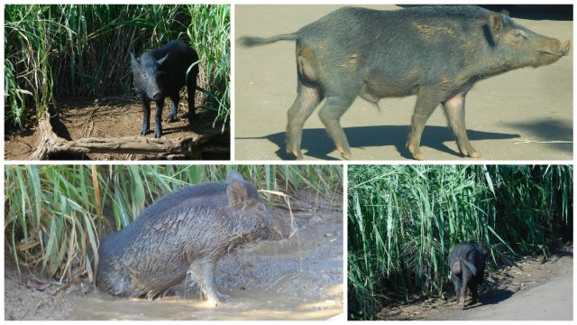 wild_boar_hawaii