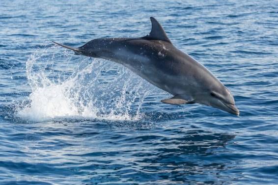 Saut de Grand dauphin, Méditerranée.