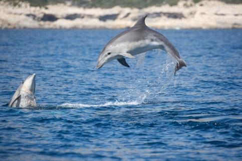 Grands dauphins dans les calanques de Marseille