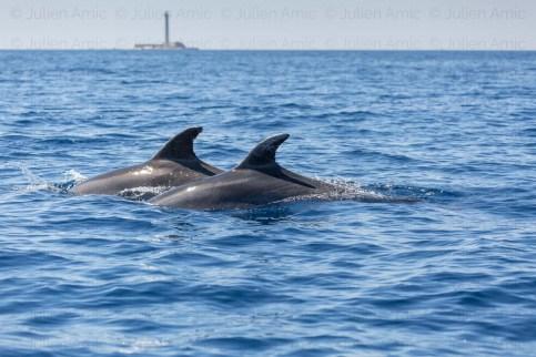 """Grands dauphins, Tursiops truncatus, devant le phare de Planier, Marseille, mediterranee, Parc national des Calanques, pas d'utilisation à des fins publicitaires (sauf à demander une autorisation spécifique) et mention """"Parc National des Calanques"""" à associer à la publication."""