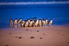 22-penguin-parade-pp-MG9006-C-D-Parer-E-Parer-Cook