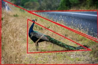 Peacock_Geo