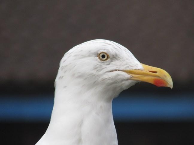 gull4