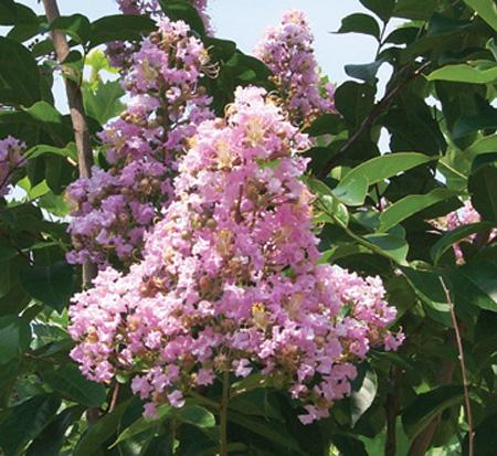 Crepe Myrtle Muskogee Lavender
