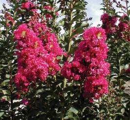 Crepe Myrtle Tuscarora Red