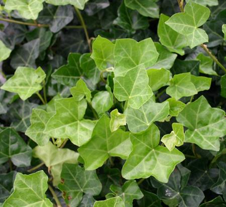 English Ivy