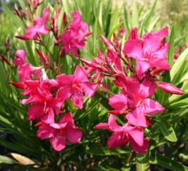 Oleander Hardy Red