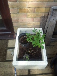 White polystyrene box with chili plant and a few weeds, by brick wall