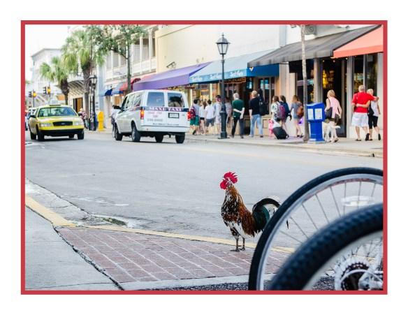 Crowing in Key West