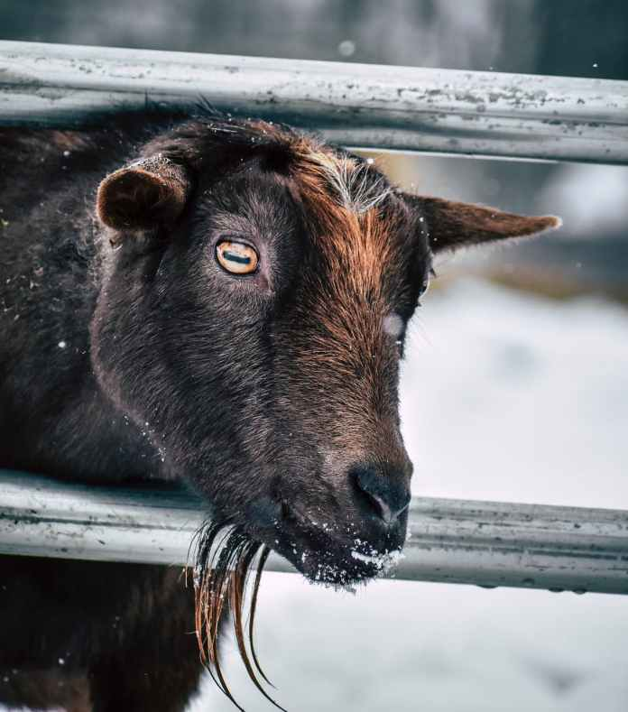 goat with beard behind metal fence
