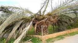 kranke palme