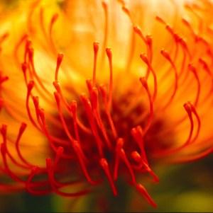African Orange Protea