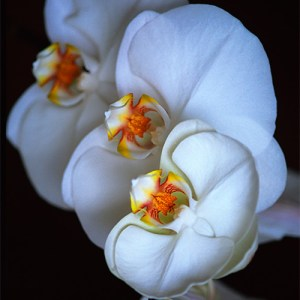 Three White Orchids