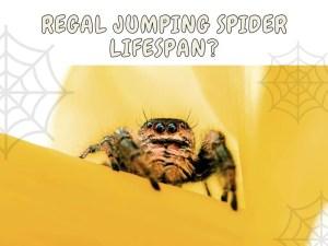 regal jumping spider life span