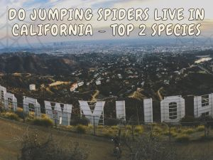species Jumping Spiders Live in California