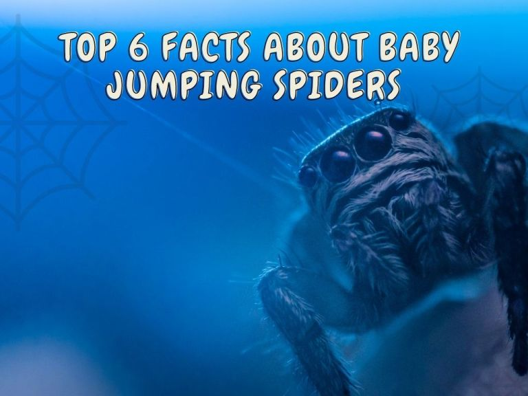 Facts About Baby Jumping Spiders