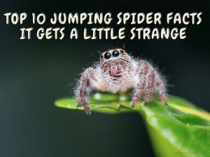 Jumping Spider Facts