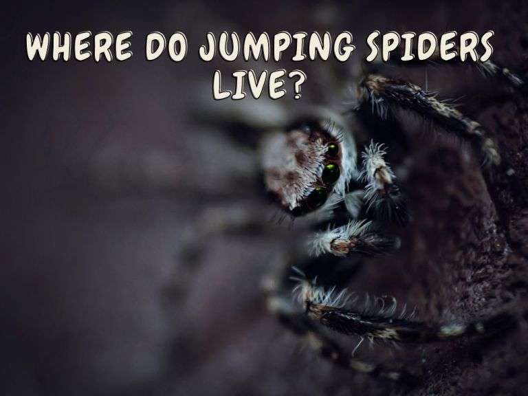 Where Do Jumping Spiders Live