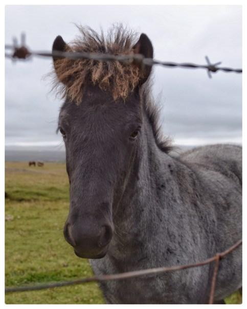 Curious Icelandic foal