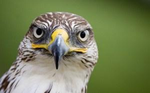 Falconry and the Tudors