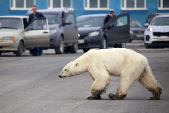 polar bear on road