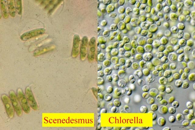 scendesmus-chlorella