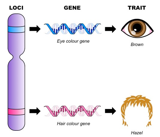 gene-and-loci_med