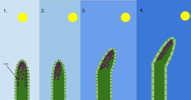 Phototropism-Diagram