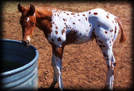 Spotted Baby Appaloosa
