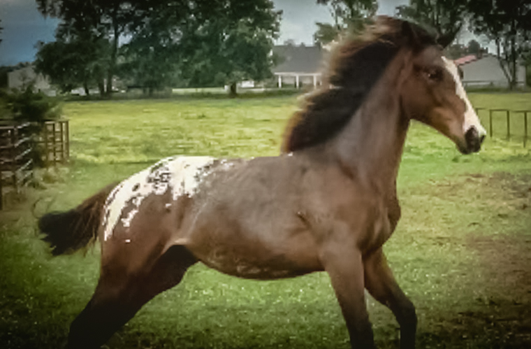 Appaloosa foal galloping
