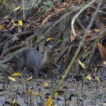 ビロードカワウソ / Smooth-coated Otter at Dagat River, Segama, Tabin