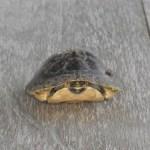 マレーハコガメ / Malayan Box Turtle