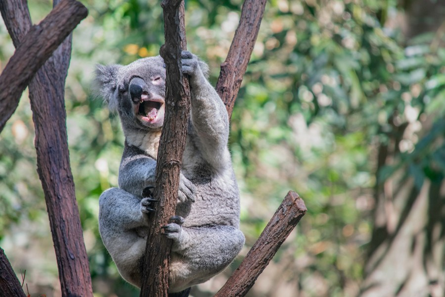 Laughing koala in fork of tree