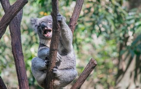 Paradigm shift 'urgent' as clearing imperils koalas