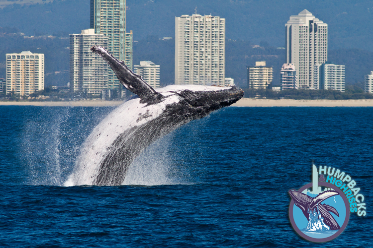 Researchers have found humpback whales calving 1000km south of their usual nursing grounds.  Picture by: Humpbacks and Highrises https://www.humpbacksandhighrises.org/