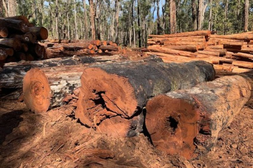 Old-growth+logging+claims+halts+chainsaws